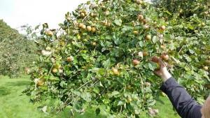 Van deze hoogstamappels worden het lekkerste Friese appelgebak en de heerlijkste appelsap gemaakt.