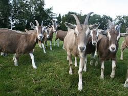 Doetie's geiten